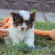 Adorable Yorkshire puppy for sale moscow