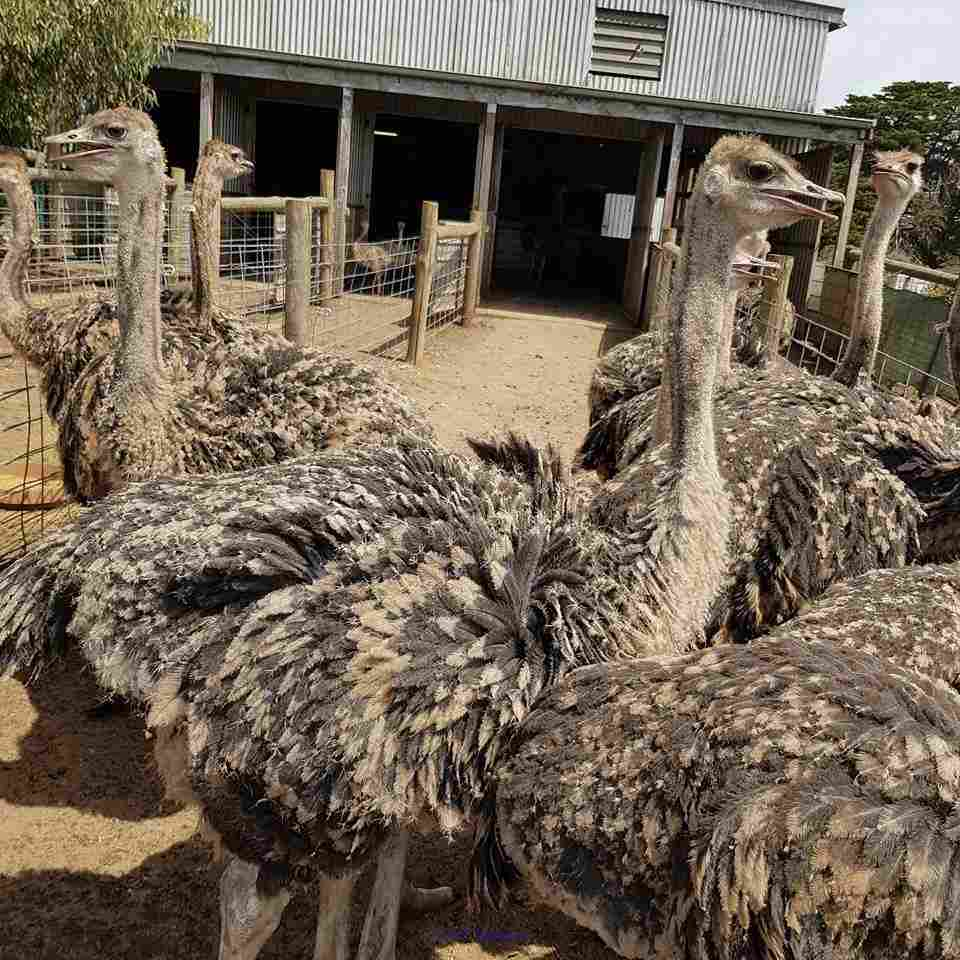 ostrich chicks, hatching eggs  and other Birds for sale Moscow, Russia Classifieds